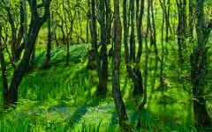 Bluebell woods at Pinmill, Isle of Arran