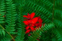 Crocosmia and Ferns