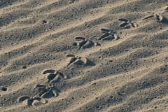 Bird tracks, Ardalanish beach